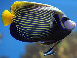 hawaiian cleaner wrasse protection