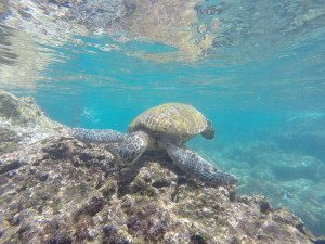 snorkeling-with-sea-turtles-oahu
