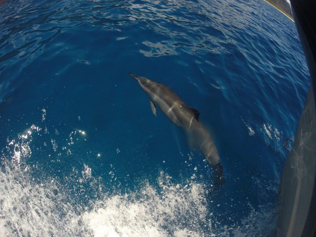 dolphins-napali-coast-zodiac-tour