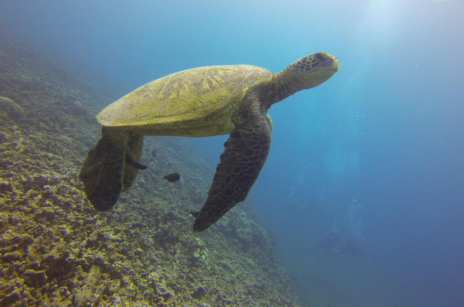 sea turtle in Hawaii waters