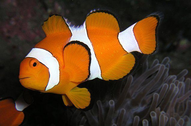 clownfish swimming around reef